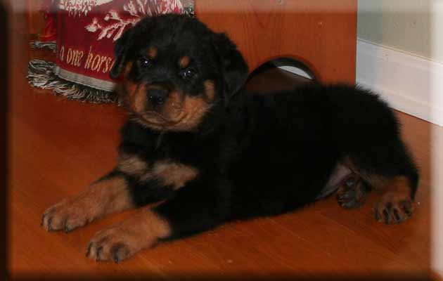 Hurleyhaus Rottweilers Rottweilers For Sale In Holts Summit Mo